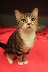 Flower is an adoptable Domestic Short Hair Cat in Onalaska, WI. Hello, my name is Flower, and I am a Secret Admirer. When it comes to relationships, I'm very level-headed. I don't leap in paws first, ...