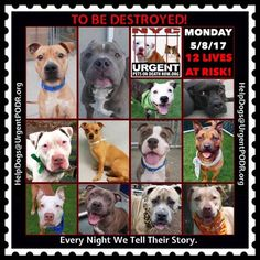 TO BE DESTROYED 05/08/17 - - Info   To rescue a Death Row Dog, Please read this:http://information.urgentpodr.org/adoption-info-and-list-of-rescues/  To view the full album, please click here:http://nycdogs.urgentpodr.org/tbd-dogs-page/ -  Click for info & Current Status: http://nycdogs.urgentpodr.org/to-be-destroyed-4915/