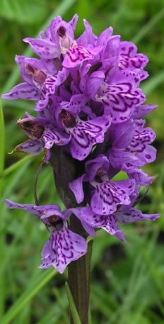 Dactylorhiza - petals look like butterfly wings!