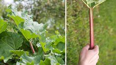 Na severe Európy sa kyslá a osviežujúca rebarbora využíva namiesto jabĺk. Herbs, Garden, Garten, Lawn And Garden, Herb, Gardens, Gardening, Outdoor, Yard