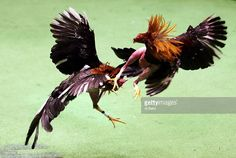 Two roosters battle during Cockfighting night at Club Gallistico of Isla Verde on March 11, 2006 in San Juan, Puerto Rico. Cockfighting, or 'peleas de gallos,' is a legal sport in Puerto Rico, unlike In the United States where some states have made it a felony.