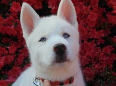 Beautiful blue-eyed White Siberian Husky puppy.