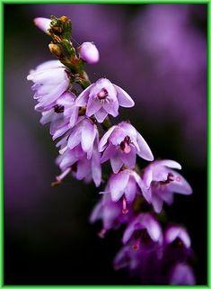 heather flower - Google Search