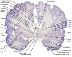 The Nissl stain allows one to identify different structures in the brain.