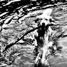 Mille retrieving a stick in a lake