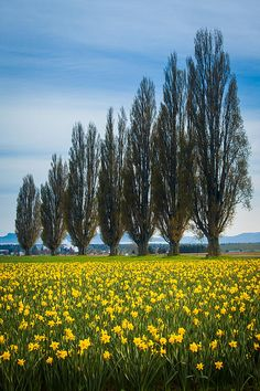 Daffodils in Skagit Valley, Washington; photo by Inge Johnsson