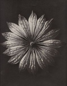 Karl Blossfeldt: Plant Study, Astrantia major, Thank you, birikforever. Karl Blossfeldt, Botanical Illustration, Botanical Art, Macro Photography, White Photography, Straight Photography, Astrantia Major, Natural Form Art, Patterns In Nature