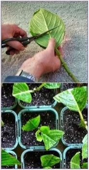 How to Grow Hydrangea From Cutting: First Find a hydrangeas and cut some small branches. Place your cuttings in water, at . How to Grow Hydrangea From Cutting: First Find a hydrangeas and cut some small branches. Place your cuttings in water, at . Hydrangea Landscaping, Front Yard Landscaping, Landscaping Ideas, Garden Care, Garden Yard Ideas, Lawn And Garden, Garden Projects, Backyard Ideas, Growing Plants