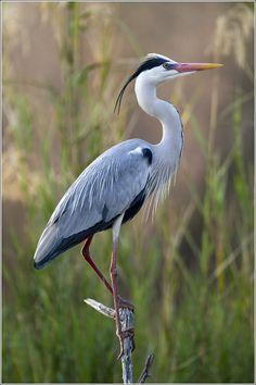 'Grey Heron (Bloureier) | Flickr - © Leon Molenaar