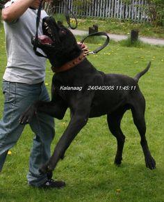 Bully Kutta - MBK's Kalanaag - Molosser Dogs Gallery