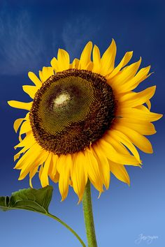 Sun flower over blue sky by ijansempoi sempoi on 500px