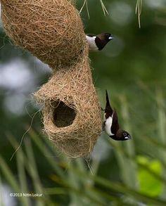 Baya Weaver birds infian name sugri...Nest gujrat india