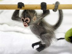 Baby Spider Monkey :)