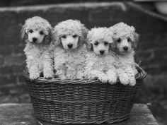Basket of joy, a.k.a., POODLE PUPPIES