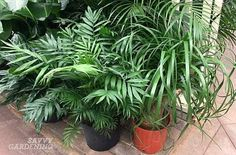 Palm plants are indoor tropical plants that will thrive for years when given the proper care. Growing them is easy with these indoor palm plant care tips. Indoor Palm Trees, Indoor Tropical Plants, Indoor Palms, Indoor Plants Low Light, Toxic Plants For Cats, Cat Safe Plants, Cat Plants, Palm Plant Care, Palm Tree Care