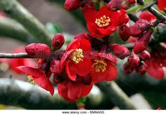 Find the perfect chaenomeles cultivar stock photo. Huge collection, amazing choice, million high quality, affordable RF and RM images. Chaenomeles, Amp, Stock Photos, Amazing, Plants, Image, Growing Up, Bokeh, Plant