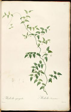 medeola asparagoides - high resolution image from old book. Plant Illustration, Botanical Illustration, Botanical Drawings, Botanical Prints, Vine Drawing, Vine Tattoos, Merian, Floral Illustrations, Plant Leaves