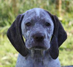 Braque Du Bourbonnais 10 Unique Dog Breeds, Rare Dog Breeds, Popular Dog Breeds, Braque Du Bourbonnais, Border Collie Mix, Poodle, Dogs And Puppies, Corgi, Cute