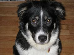 """Close as I can get to a picture of what my Border Collie Mix """"Baby"""" looks like!"""