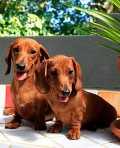 """""""Once you own a dachshund, you are owned by a dachshund for life."""""""