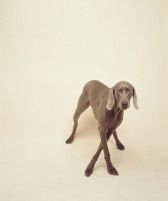 William Wegman-Armature by Art Images Directory, via Flickr