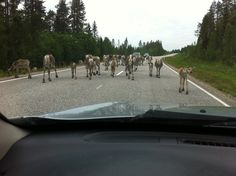 Kuusamo - Finland, drive carefully, there is always Reindeers on the roads