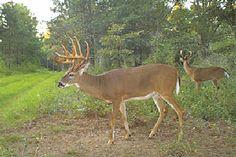 whitetail buck deer in georgia | 209-Inch Georgia Trophy Whitetail Buck - North American Whitetail