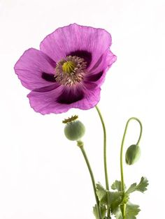How and when to sow poppies