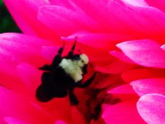 A bee sleeping on a dahlia.
