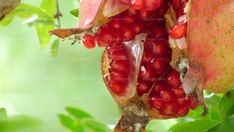 The origin of the pomegranate extends from the Balkans to the Himalayas; it is considered as one of the most cultivated fruit trees since ancient times so there is a great genetic diversity.
