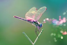 Lovely, lovely dragonfly.... How beautiful your wings and colors are!