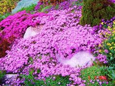 Creeping Phlox | Rock Gardens & Ground Covers | Pinterest