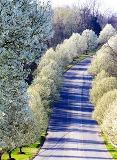 Trees Bloom along a road in Nashville