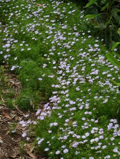 Brachyscome multifida Australian native alternative to Seaside Daisy ( very delicate fern-like foliage ) Australian Farm, Australian Native Garden, Australian Native Flowers, Australian Plants, Bush Garden, Ferns Garden, Cottage Garden Plants, Seaside Garden, Coastal Gardens