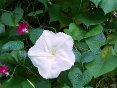 Everything you Wanted to Know about Growing Moonflowers : Home Farm Herbery