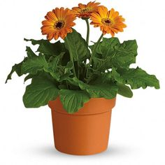 In living color! Send them a lovely, long-lasting gift with this potted orange gerbera daisy plant. An exceptional value, it 's paired with an orange-glazed terra-cotta pot that can be used to brighten up their windowsill for years to come. Online Flower Shop, Order Flowers Online, Plant Delivery, Flower Delivery, Buy Plants, Cool Plants, Garden Plants, City Flowers, Send Flowers