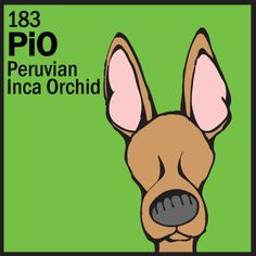Peruvian Inca Orchid  http://www.thedogtable.com/daily-dog-breed/daily-dog-breed-peruvian-inca-orchid/