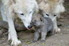 Foto Arktischer Wolf