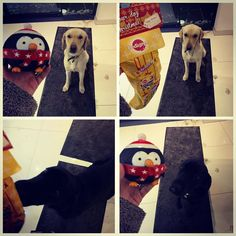 """Teddie & Harley: """"Merry Christmas everyone, Santa Paws has been wooohoo! Erm sorry we were just too excited to stand on the mats you got to cover the white floor dad! Personality Growth, The Kennel Club, Black Lab Puppies, Merry Christmas Everyone, Love My Family, Family Dogs, I Love Dogs, Scooby Doo, Labrador Retriever"""