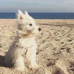 "6,433 Likes, 81 Comments - Westie Moments® (@westiemoments) on Instagram: ""Check the link in @westiemoments profile and choose your Westie or hoodie! International…"""