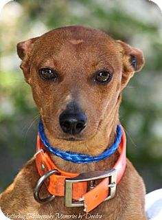 Hansel must have been someone's pet at one time because he is friendly with people of all ages, he gets along with all the other dogs at the shelter, and if he sees an open car door he's the first one in!! Hansel is a gingerbread-colored boy who we believe is a purebred Miniature Pinscher. True to his breed, he is very smart, loyal and proud (and a little camera shy if you see the video!) We think Hansel is about 1 - 2 years old, he is healthy and at just about 10 pounds he's fully grown.