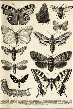 Illustration Schmetterlinge (Tafel I)