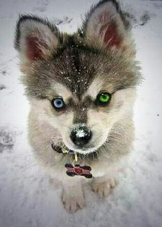 This is a husky. Some dogs-mostly huskys breeds- have different eye color. It's normal for those dogs but sometimes dogs have different eye color because they got hurt in their eye in the past time