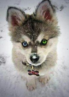 Snowy Pomsky
