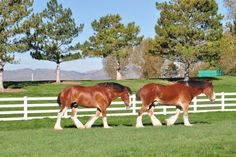 Budweiser Clydesdales at Fort Collins Brewery