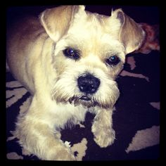 mini schnauzer & pug cross = schnug SO CUTE *I love my boy*