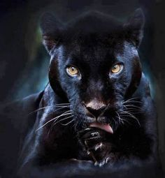 A black panther is typically a melanistic color variant of any of several species of larger cat. In Latin America, wild 'black panthers' may be black jaguars; in Asia and Africa, black leopards ; Beautiful Cats, Animals Beautiful, Simply Beautiful, Beautiful Creatures, Magical Creatures, Beautiful Gorgeous, Animals And Pets, Cute Animals, Black Animals