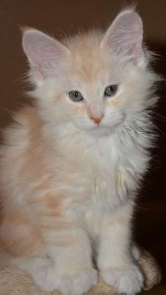 Maine Coon Cats - WhatATrill Maine Coons of Northern California - WhatATrill Maine Coon Kittens