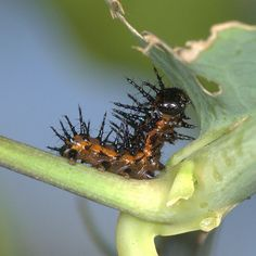 Gulf Fritillary Caterpillar, 2nd Instar