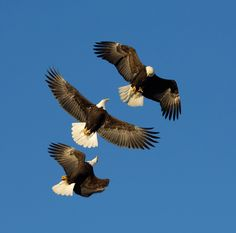 Mid Air Persecution: Two female bald eagles pursue a male in mid air for a piece of fish. Photo by Photographer Harry Eggens Female Bald Eagle, Call Backs, Persecution, Birds Of Prey, Raptors, Nature Animals, Pet Birds, Bald Eagles, Coco